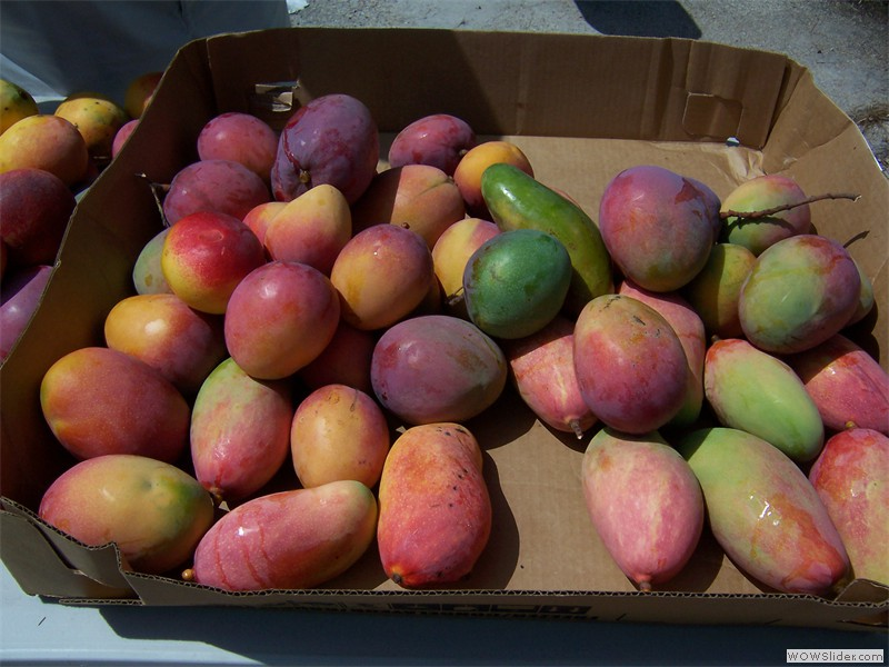 Tree ripe mangoes